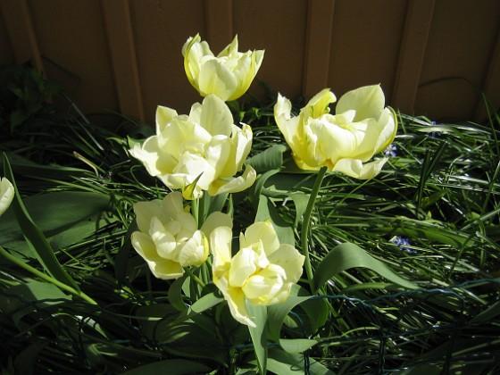 Tulpaner Den här rabatten får sol först på eftermiddagen runt tretiden.&nbsp 2012-05-06 022 Granudden Färjestaden Öland