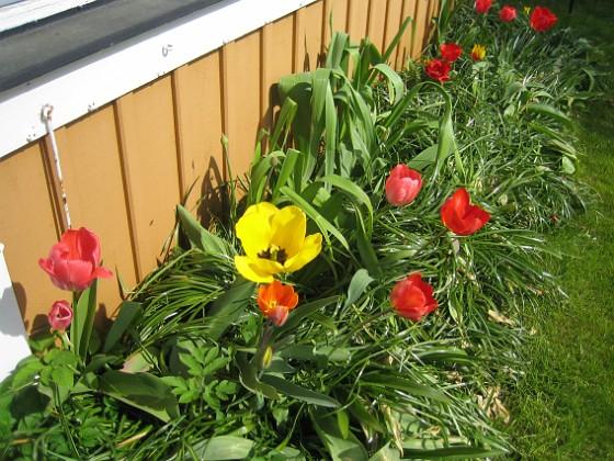 Tulpaner { Nu börjar tulpanerna framför altanen att se lite risiga ut. }