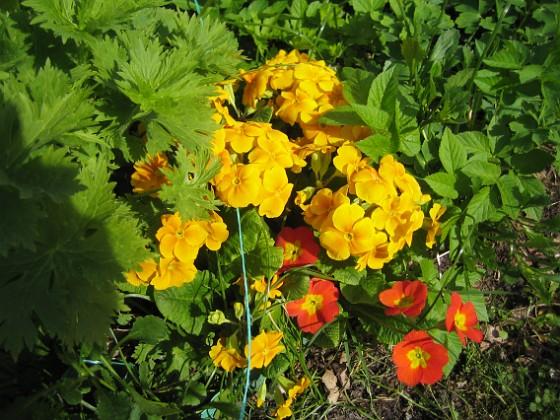 Primula { Och efter en vecka så har jag fortfarande blommor på dessa vackra Primula. }