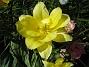 Tulpaner Här har jag hittat en blomma i extra fint ljus. 2012-05-06 014