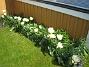 Här växer vackra vita Tulpaner. Här sitter egentligen tre olika sorter men i år har jag bara sett de vita. Det är tulpaner som blommar med flera blommor på varje planta. (2012-05-06 020)