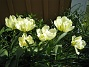 Tulpaner Det är lite vitt och även grönt inuti blommora. 2012-05-06 021