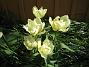 Tulpaner Den här rabatten får sol först på eftermiddagen runt tretiden. 2012-05-06 022