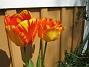 Tulpaner Här är någar av de vackraste. Varför har jag inte flera sådana? Jag satte ju massor. 2012-05-06 029