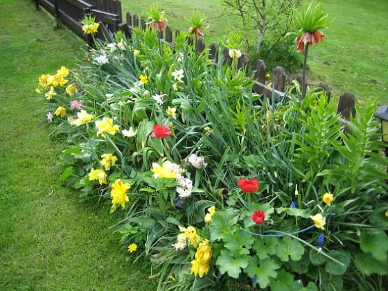 Tulpaner Som synes så blommar tulpanerna fortfarande, tillsammans med narcisserna. Kejsarkronorna däremot sjunger på sista versen.&nbsp 2012-05-11 003 Granudden Färjestaden Öland