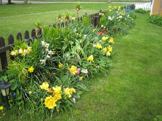 Tulpaner Trädgården är egentligen vackrast på våren. 2012-05-11 004 Granudden Färjestaden Öland