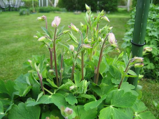 Akleja Blommorna har inte riktigt slagit ut ännu.&nbsp 2012-05-11 006 Granudden Färjestaden Öland