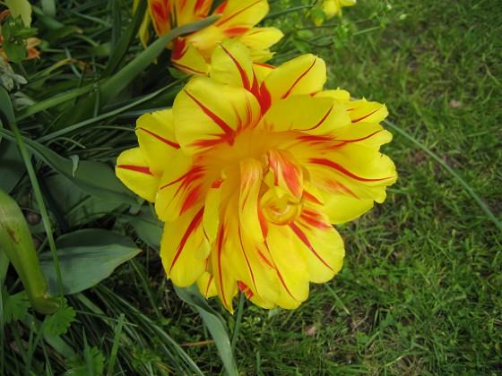 Tulpan Detta är tredje veckan i rad som jag tar blommor på dessa oerhört vackra tulpaner. 2012-05-11 007 Granudden Färjestaden Öland