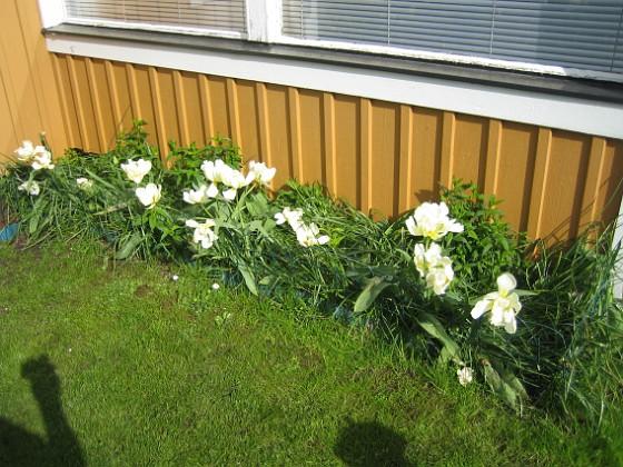Tulpaner &nbsp 2012-05-11 009 Granudden Färjestaden Öland