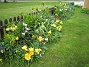 Tulpaner Trädgården är egentligen vackrast på våren. 2012-05-11 004