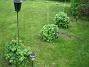 Rundlar Rundeln under kameran bjuder på Akleja och Praktriddarsporre. De två andra har Trädgårdsriddarsporre. 2012-05-11 005