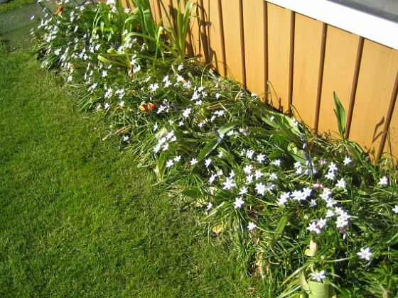 Morgonstjärna Men det är tur att man har något som blommar, när tulpanerna har gjort sitt. 2012-05-20 IMG_0003 Granudden Färjestaden Öland
