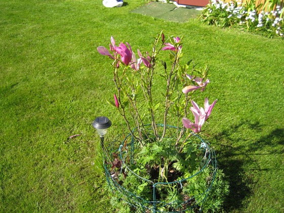 Magnolia Min Magnolia kommer att få samsas med min klängros mitt på gräsmattan. Frågan är vilken som växer snabbast. En Magnolia kan ju bli ett helt träd, men den verkar inte växa så snabbt.&nbsp 2012-05-20 IMG_0008 Granudden Färjestaden Öland