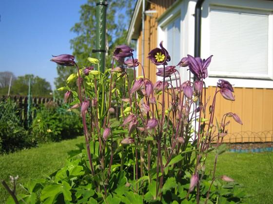 Akleja Nu har dessa vackra aklejor slagit ut.&nbsp 2012-05-20 IMG_0012 Granudden Färjestaden Öland