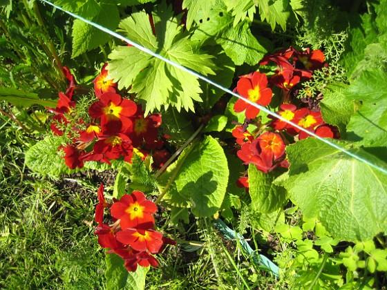 Primula  2012-05-20 IMG_0025 Granudden Färjestaden Öland