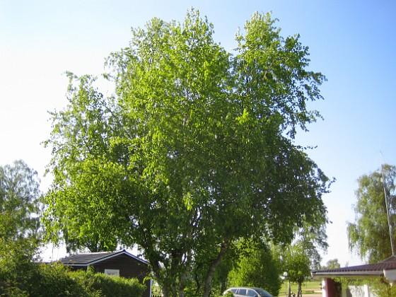 Granudden Den här bjorken måste klippas radikalt. 2012-05-20 IMG_0028 Granudden Färjestaden Öland