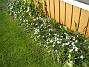 Morgonstjärna Men det är tur att man har något som blommar, när tulpanerna har gjort sitt. 2012-05-20 IMG_0003