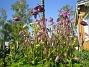 Akleja Här ligger jag ner och föröker få blå himmel som bakgrund till de lila blommorna. 2012-05-20 IMG_0013