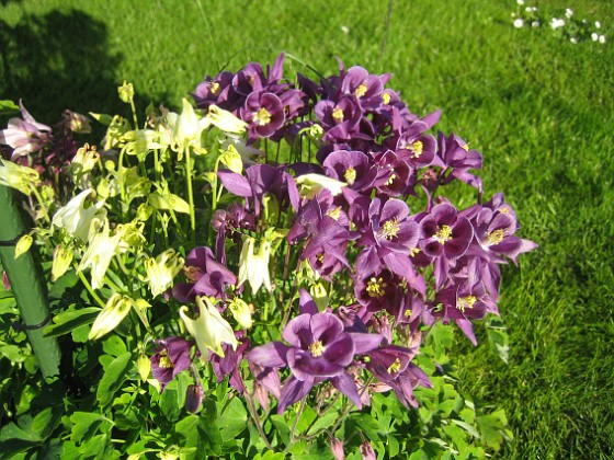Akleja { Här har jag lyckats få både gul och lila akleja i samma rundel. }
