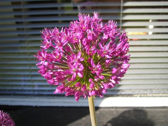 Allium { Dessa bollar består egentligen av massor av små blommor. }
