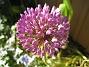 Allium  2012-05-27 IMG_0007