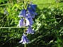 Klockhyacint  2012-05-27 IMG_0021