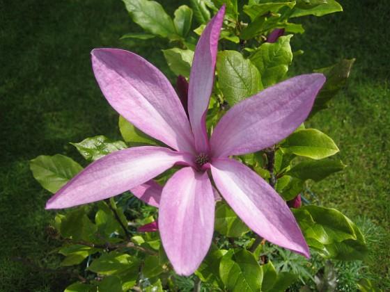 Magnolia { De blommor som fanns på busken när jag köpte den har nu vissnat och här har jag alltså nya och friska blommor. De sprider en underbar doft. }