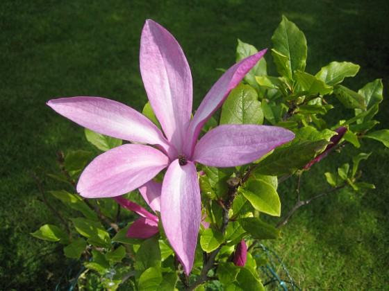 Magnolia De här blommorna dyker tydligen upp tidigt och de blommar på bar kvist.&nbsp 2012-05-28 IMG_0003 Granudden Färjestaden Öland