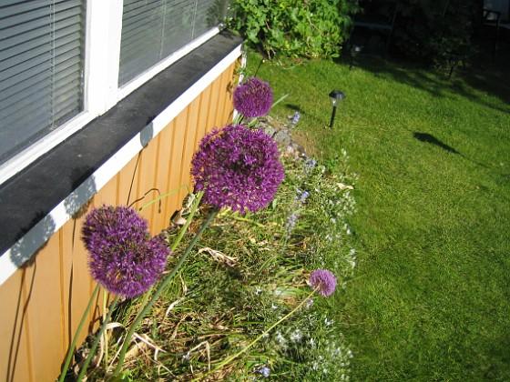 Allium  2012-06-05 IMG_0001 Granudden Färjestaden Öland