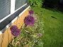 Allium  2012-06-05 IMG_0001