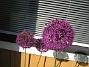 Allium  2012-06-05 IMG_0003