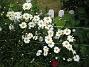 Prästkrage  2012-06-12 IMG_0006