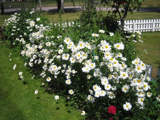 Prästkrage  2012-06-19 IMG_0021 Granudden Färjestaden Öland