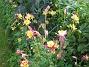 Pastellakleja  2012-06-29 IMG_0029