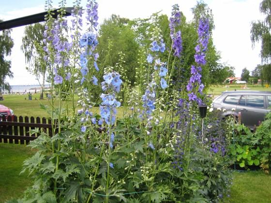 Trädgårdsriddarsporre &nbsp 2012-07-02 IMG_0001 Granudden Färjestaden Öland