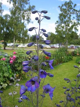 Trädgårdsriddarsporre Trädgårdsriddarsporre&nbsp 2012-07-02 IMG_0004 Granudden Färjestaden Öland