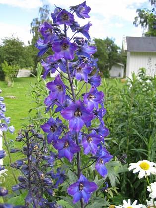 Riddarsporre &nbsp 2012-07-02 IMG_0021 Granudden Färjestaden Öland