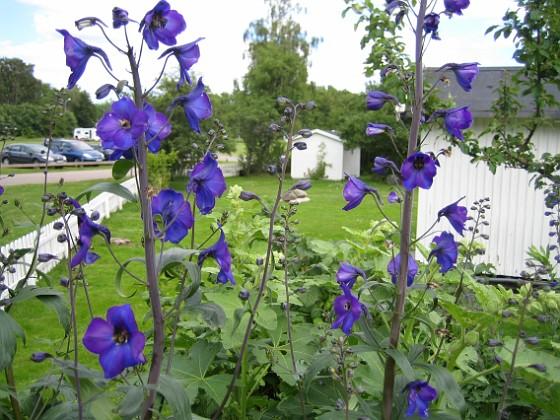 Riddarsporre Riddarsporre&nbsp 2012-07-02 IMG_0042 Granudden Färjestaden Öland