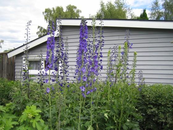 Riddarsporre  2012-07-02 IMG_0057 Granudden Färjestaden Öland