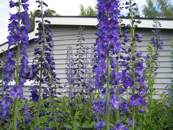 Riddarsporre Riddarsporre 2012-07-02 IMG_0058 Granudden Färjestaden Öland