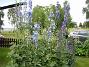 Trädgårdsriddarsporre  2012-07-02 IMG_0001