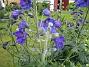 Trädgårdsriddarsporre (2012-07-02 IMG_0003)