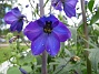 Riddarsporre Riddarsporre 2012-07-02 IMG_0038