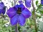 Riddarsporre Riddarsporre 2012-07-02 IMG_0039