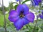 Riddarsporre Riddarsporre 2012-07-02 IMG_0040