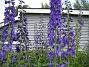Riddarsporre Riddarsporre 2012-07-02 IMG_0058