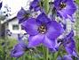 Riddarsporre Riddarsporre 2012-07-02 IMG_0059