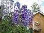 Riddarsporre Riddarsporre 2012-07-02 IMG_0065