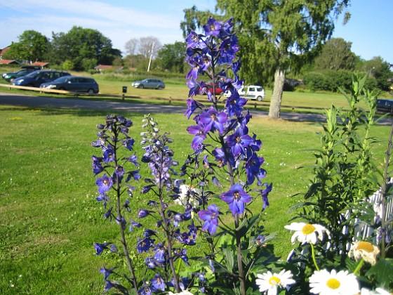 Trädgårdsriddarsporre Trädgårdsriddarsporre 2012-07-03 IMG_0027 Granudden Färjestaden Öland