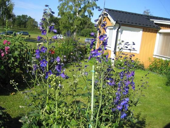 Riddarsporre Trädgårdsriddarsporre 2012-07-03 IMG_0052 Granudden Färjestaden Öland